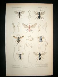 Cuvier C1840 Antique Hand Col Print. Insects 113